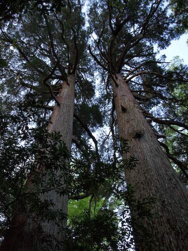 市房神社の杉巨木